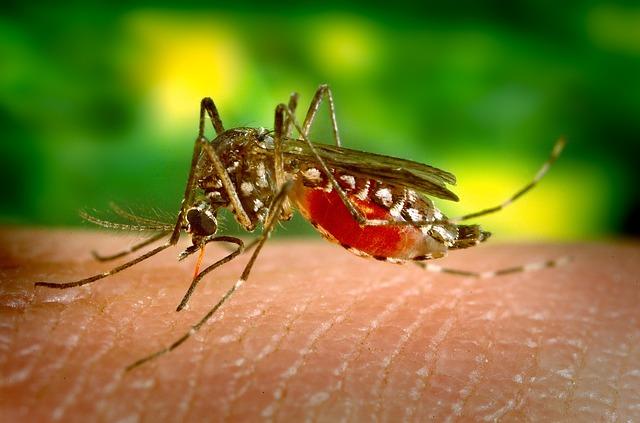 malý komár