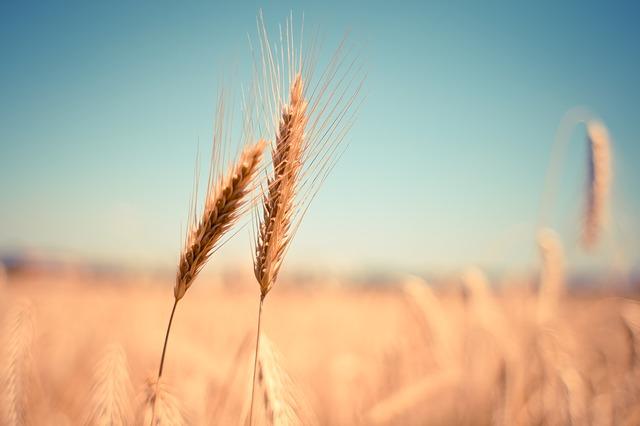klasy pšenice.jpg